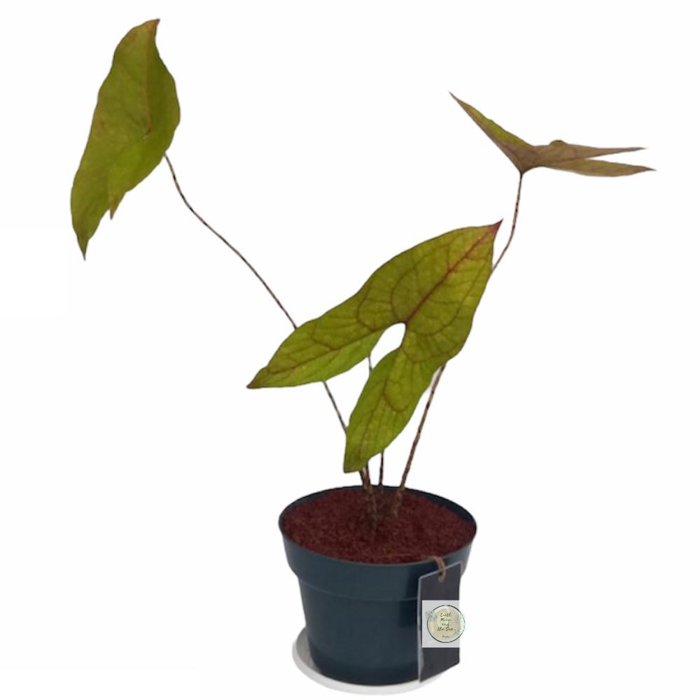 Alocasia Blackjack Papua / Cyrtosperma Johnstonii