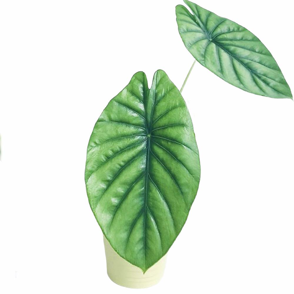 Alocasia Green Shield (M)