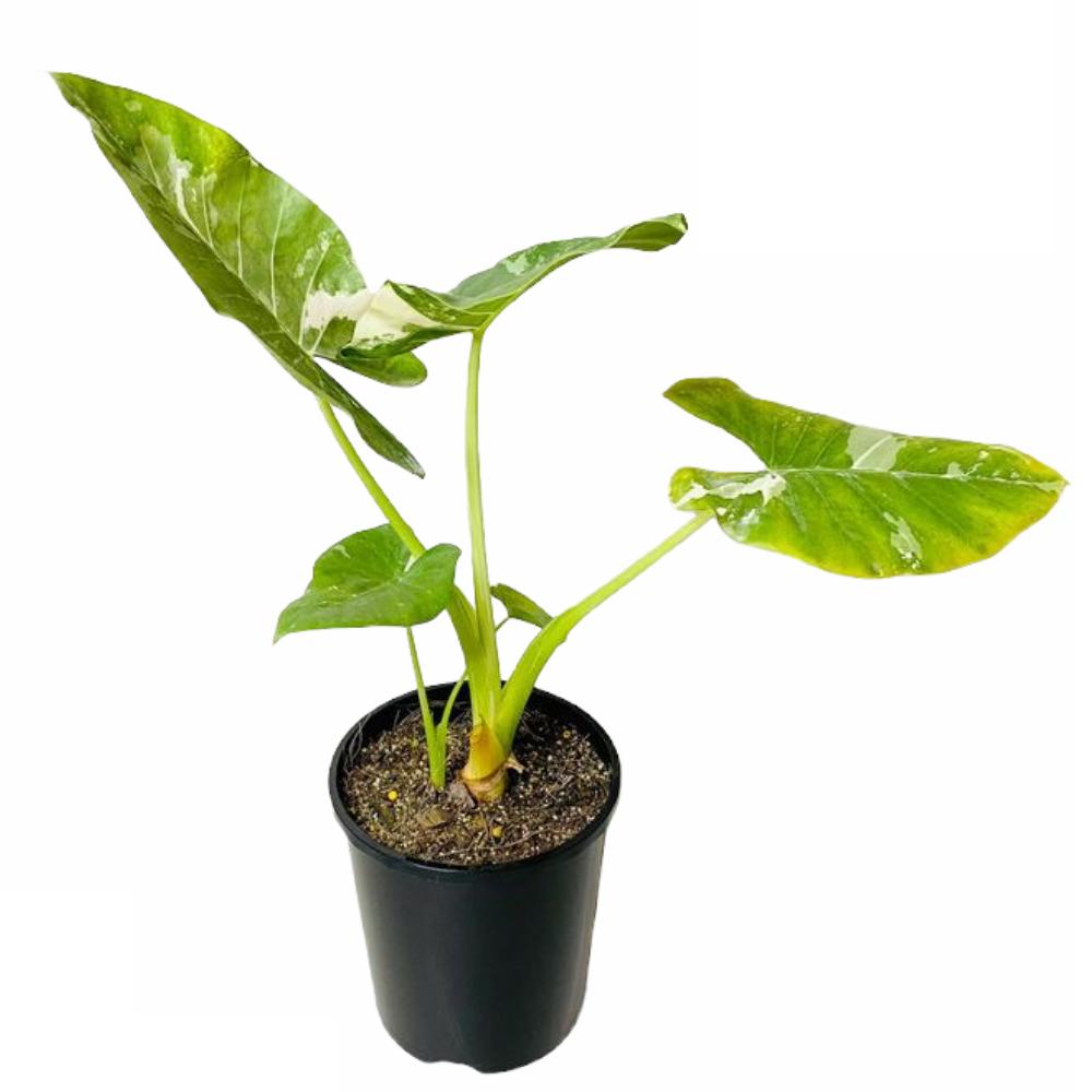 Alocasia Macrorrhiza Variegata (M)