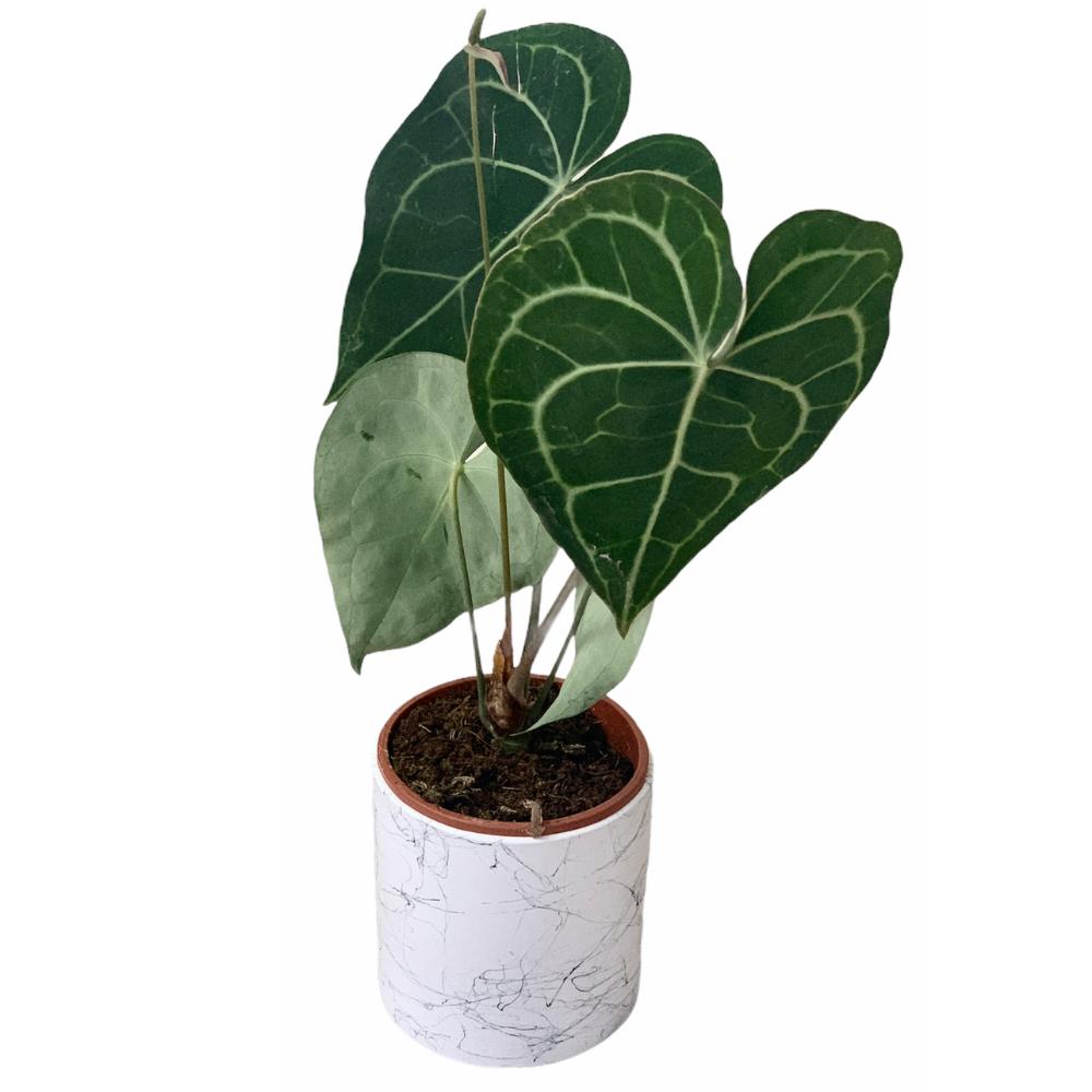 Anthurium Clarinervium (M)
