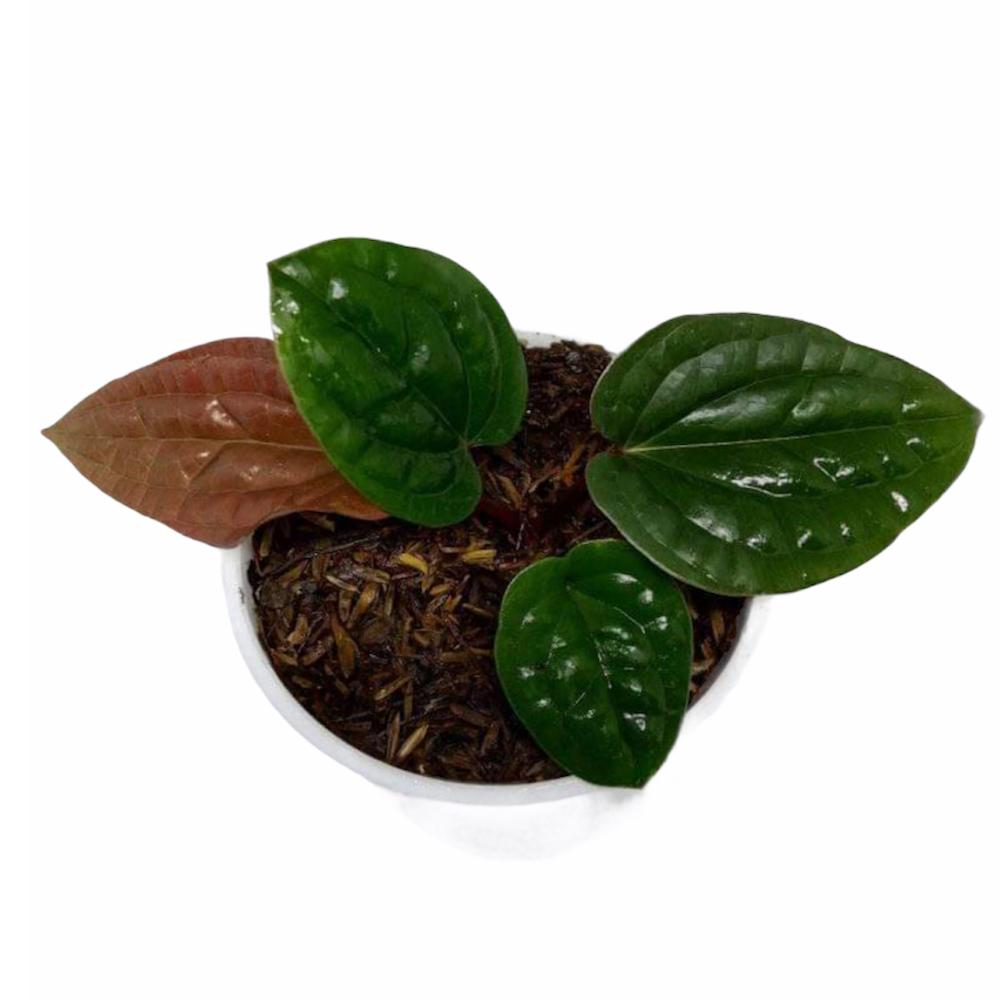 Anthurium Radicans (M)