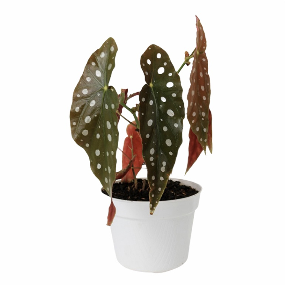 Begonia Maculata (S)