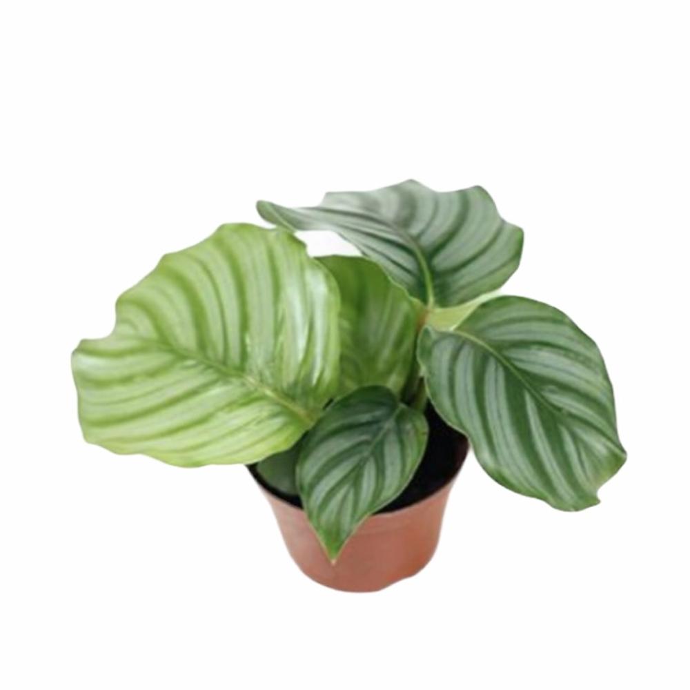 Calathea Orbifolia (S)