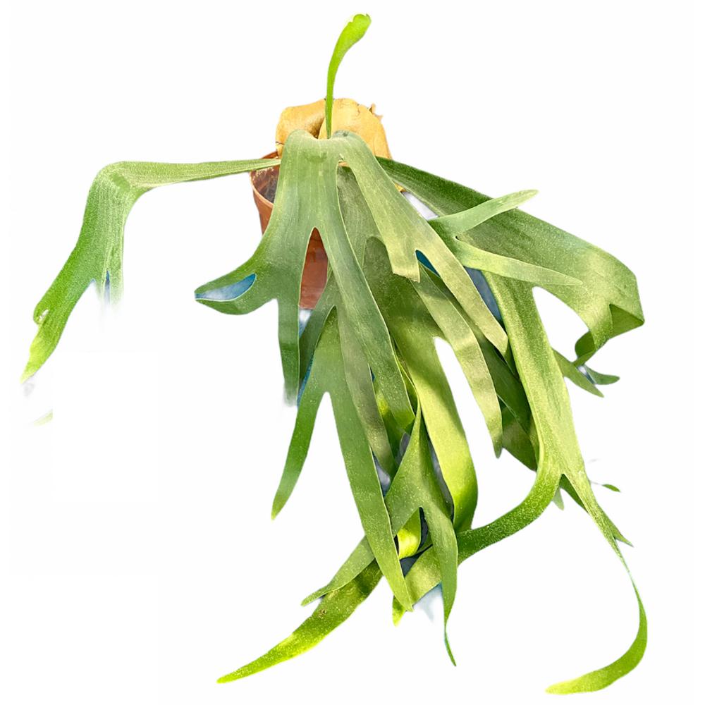 Fern Staghorn (L)