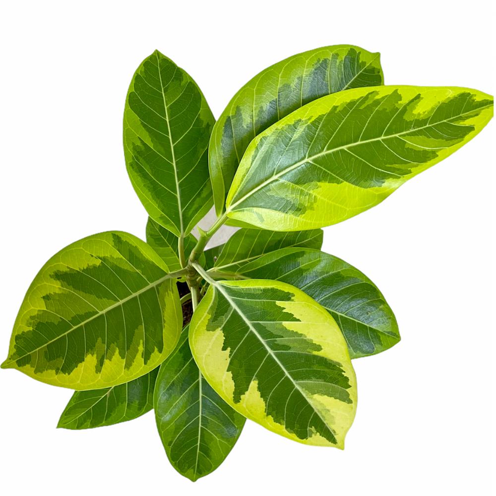 Ficus Altissima (M)
