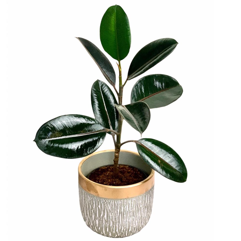 Ficus Elastica Burgundy (M)