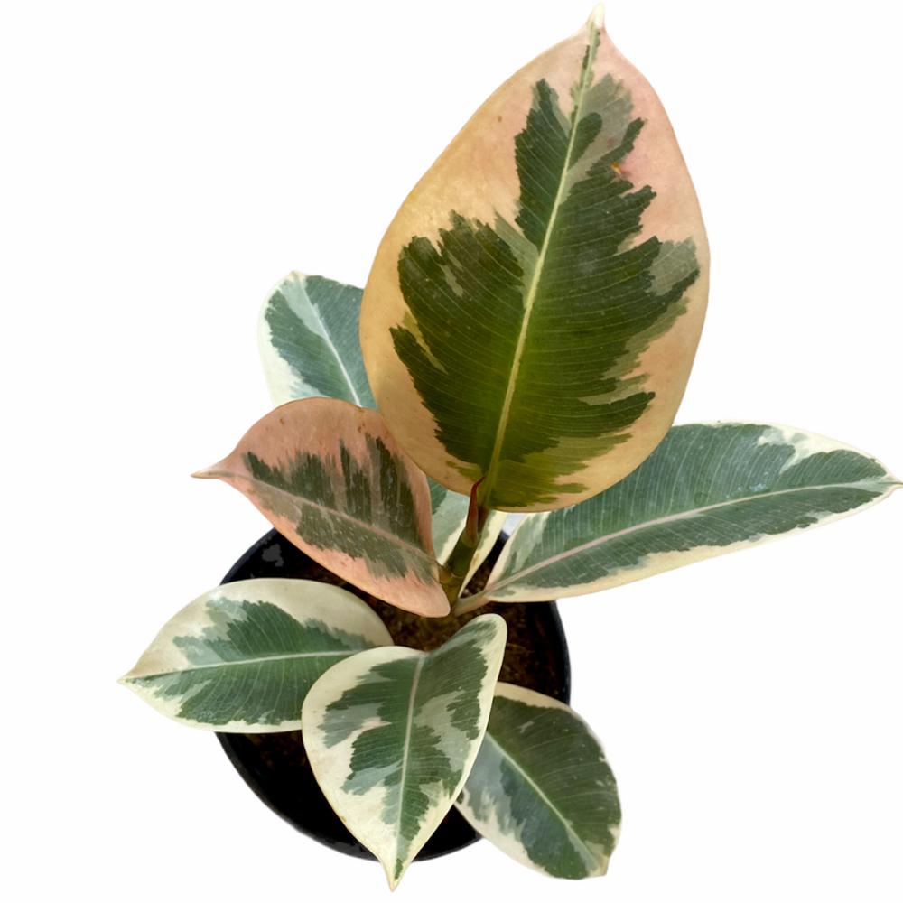 Ficus Elastica Ruby (S)