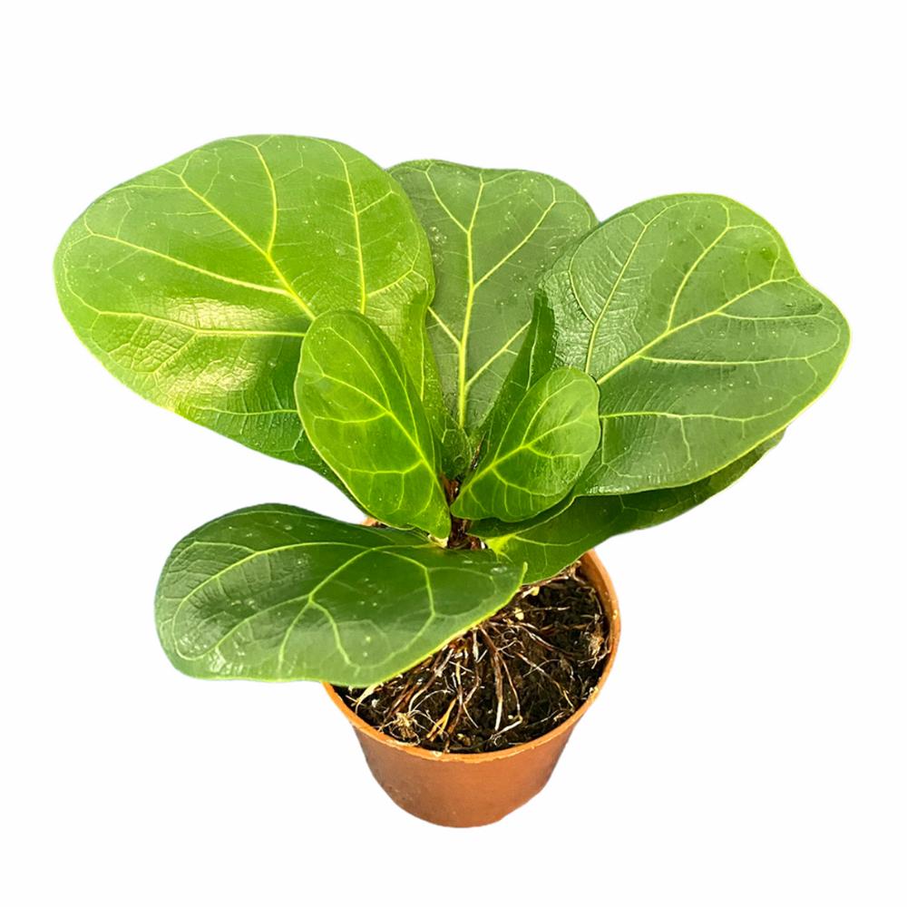 Ficus Lyrata (S)