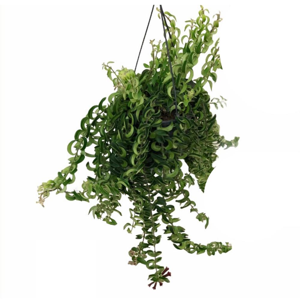 Hoya Hindu Rope (L)