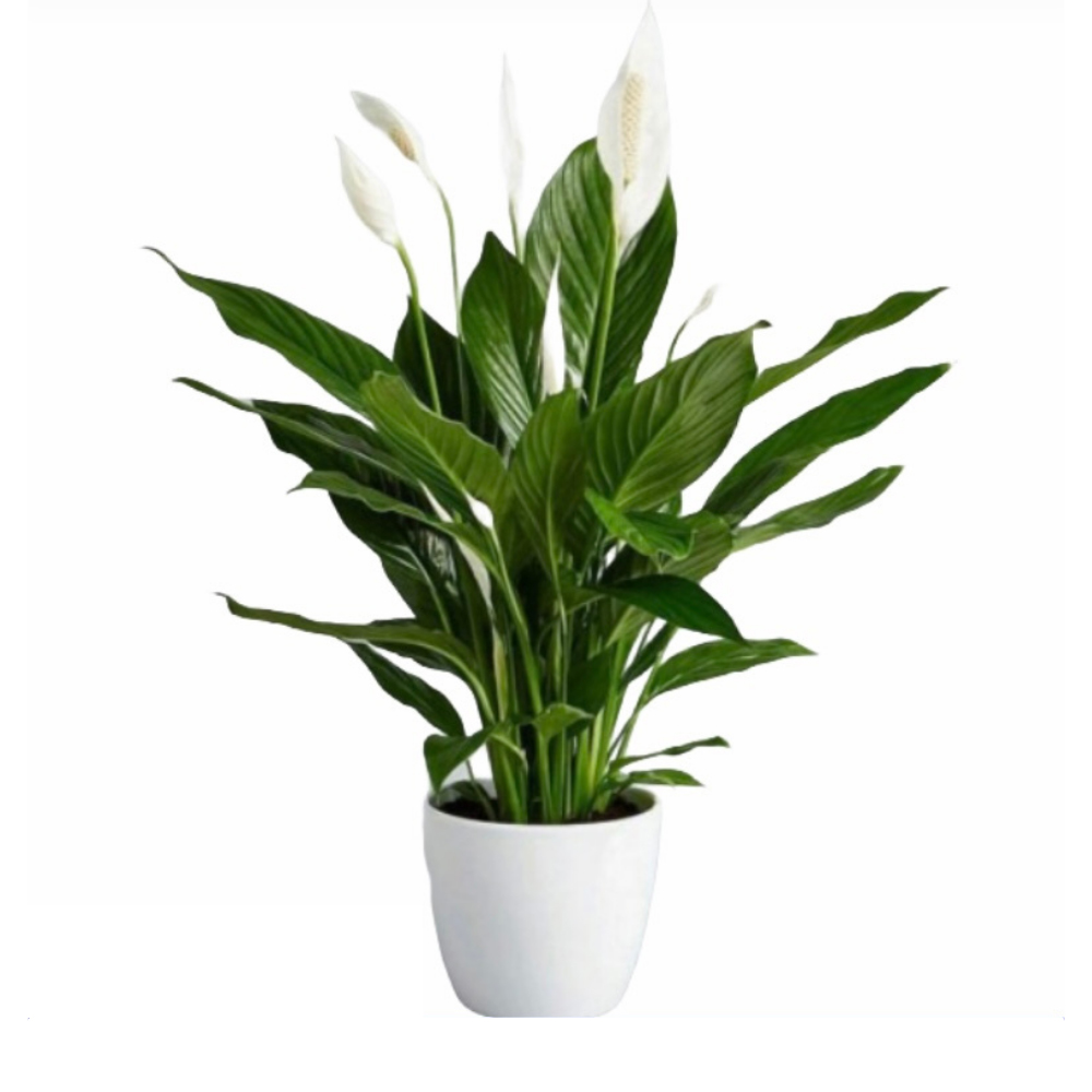 Peace Lily (L)