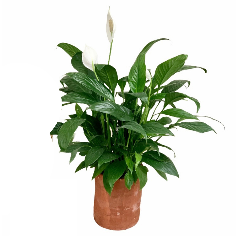 Peace Lily (M)