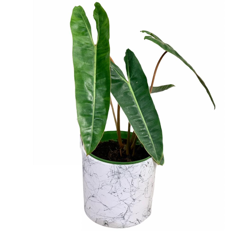 Philodendron Billitiae (L)