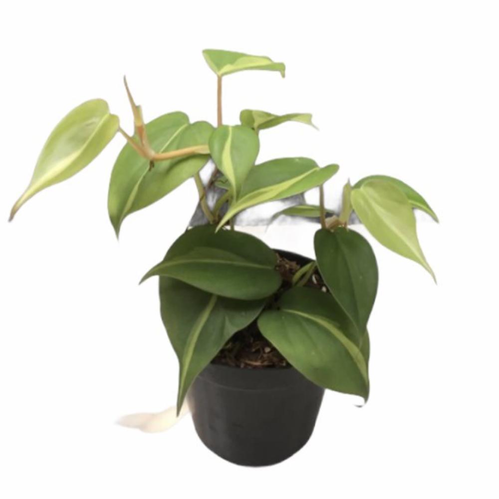 Philodendron Brasil (L)