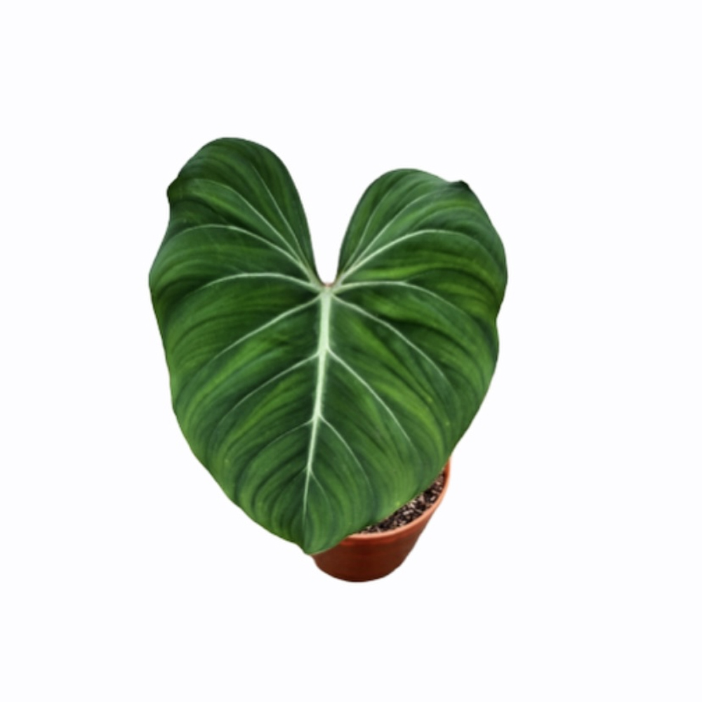 Philodendron Gloriousum (M)