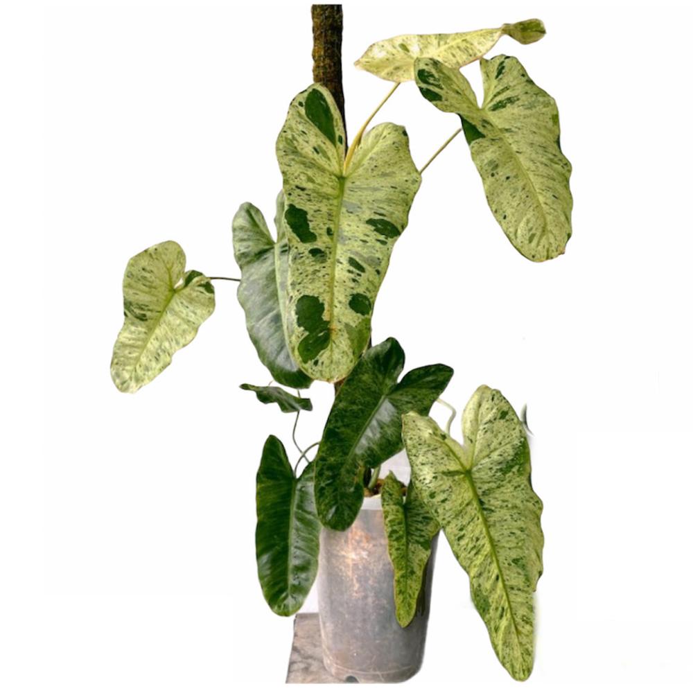 Philodendron Paraiso Verde (L)