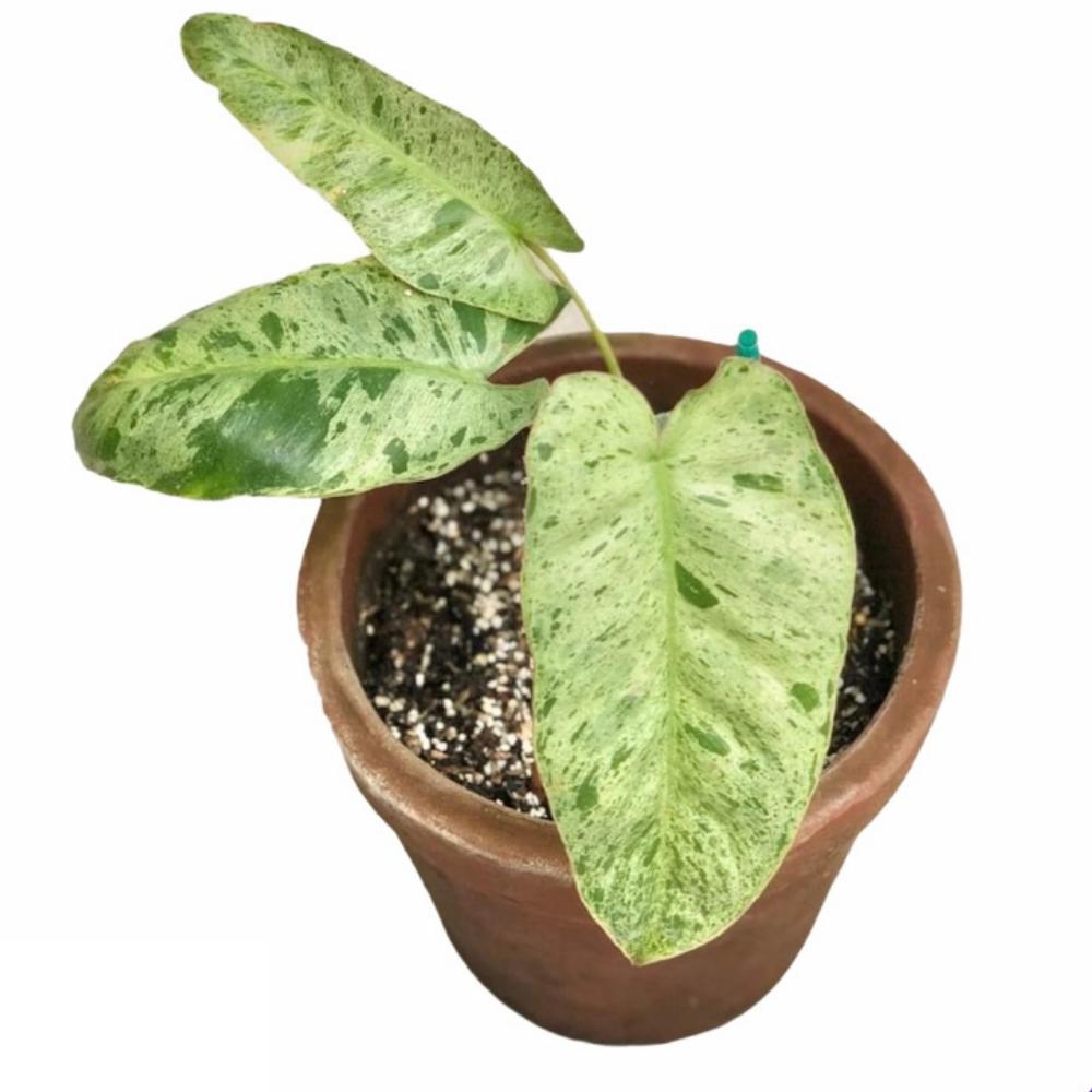 Philodendron Paraiso Verde (M)
