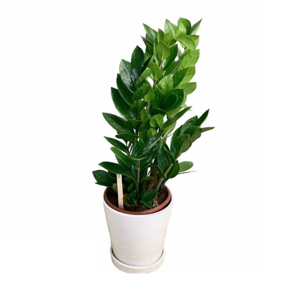 ZZ Plant (L)